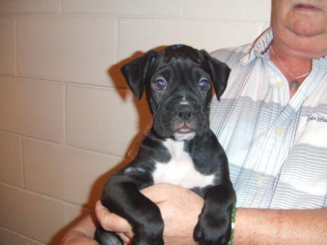 Boxer Puppies Petland Orlando South
