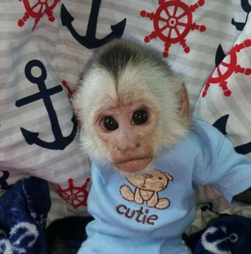 Healthy Female White Face Capuchin Monkey For Sale At A