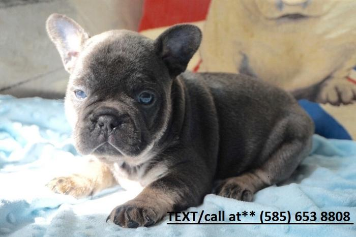Healthy French Bulldog Puppies Available Just For Sale In Rockford