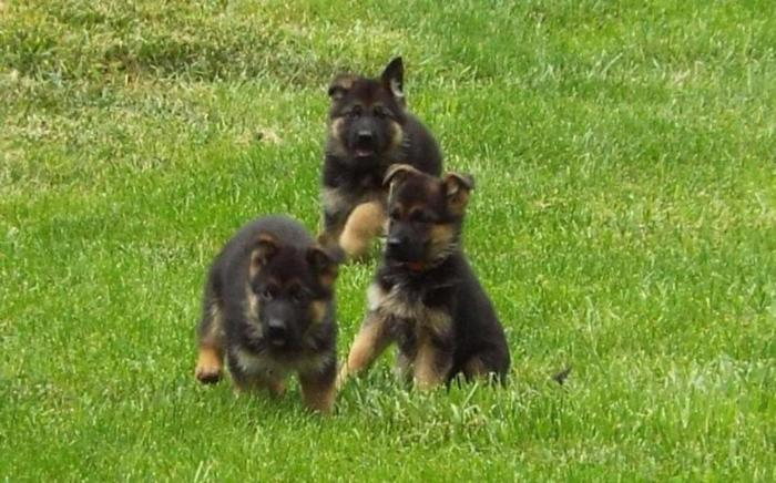 Healthy German Shepherd Puppies Ready For Their New Homes For Sale