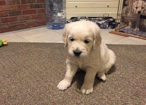 Healthy Pure Breed Golden Retriever Puppies For Sale In Sacramento