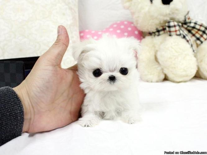 teacup maltese puppies. text.(970) 360-8363 for Sale in Wilson, North ...