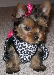 Healthy teacup yorkie puppies for adoption