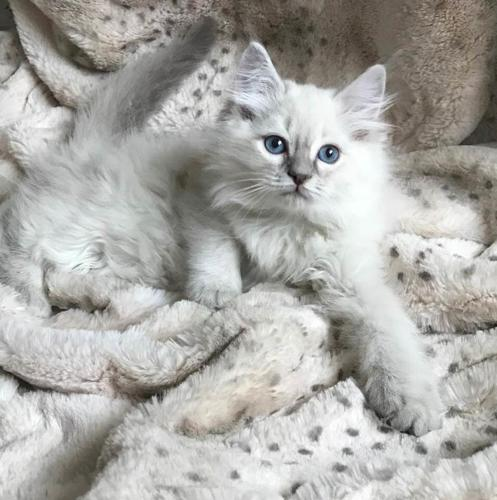 ♥ Tica Ragdoll Kittens Available ♥