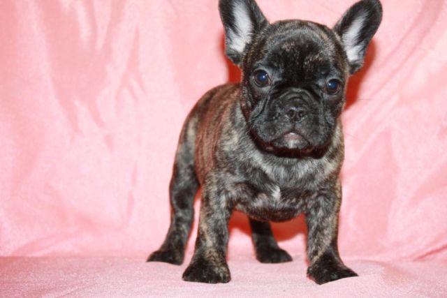 Heidi Rare Cream Brindle Color French Bulldog Female For