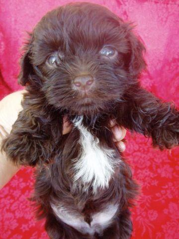 Hershey - AKC Chocolate with White Chest Havanese Male Baby Puppy