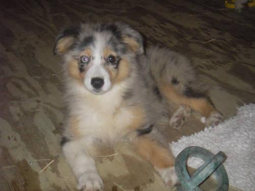 Hi,I'm the perfect companion-mini aussie female-black