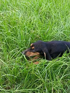 Hickory Black and Tan Coonhound Young Female