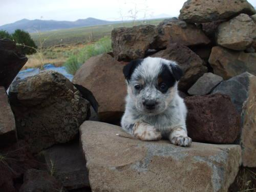 high quality purebred cattle dog puppies blue heeler