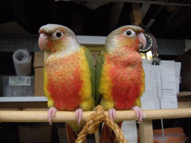 HIGH RED PINEAPPLE CONURE