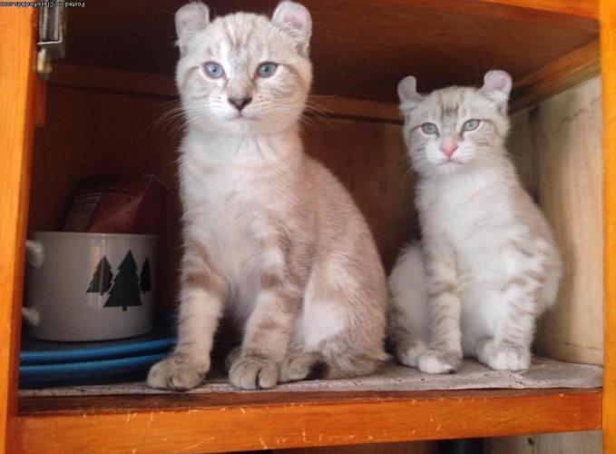 Snow Desert Lynx Kittens Pets And Animals For Sale In The Usa