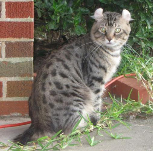 Highland lynx kitten - photo#27