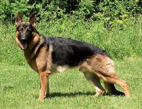 Red and black german shepherd dog - photo#12