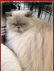Himalayan Cats Available for Adoption