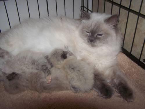 HIMALAYAN KITTENS ALL GIRLS BLUE CREAM POINTS 1 LEFT