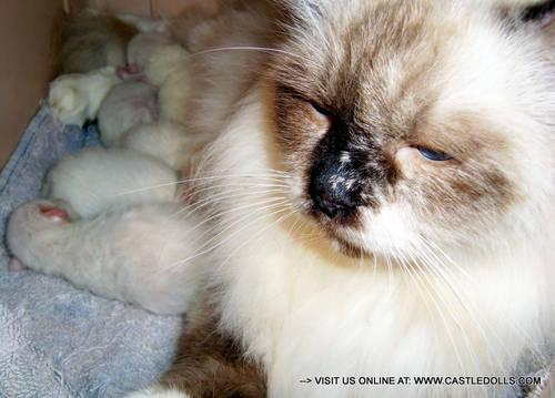 HIMALAYAN kittens all sold! new litter in march