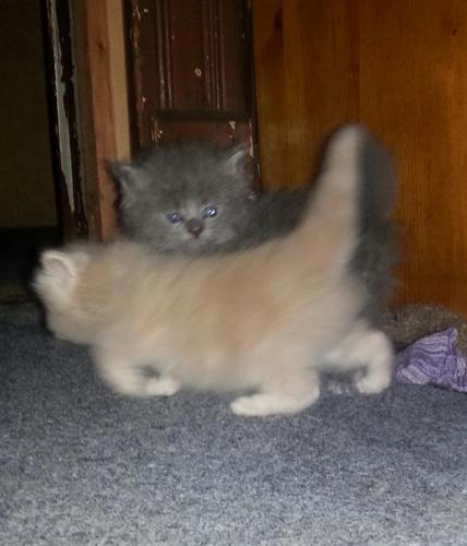Himalayan Kittens For Sale In Indianapolis Indiana