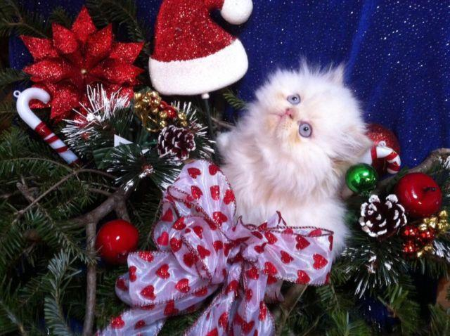 HIMALAYAN KITTENS AVAILABLE FOR CHRISTMAS
