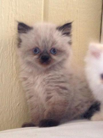 Himalayan kittens CFA registered absolutely darling