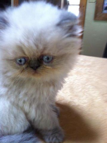 HIMALAYAN KITTENS READY AUGUST 29
