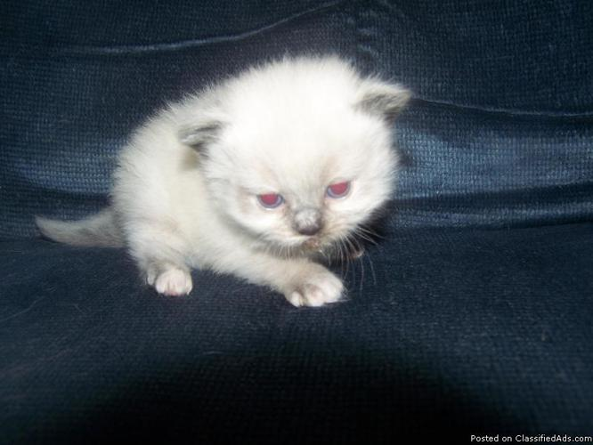 HIMALAYAN KITTENS READY FOR TAKING DEPSIT 3 MALES I
