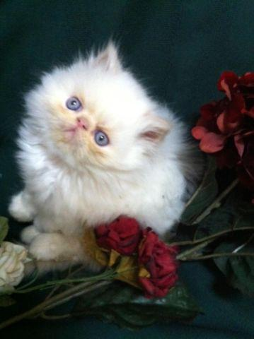 HIMALAYAN PERSIAN KITTENS FROM FUZZY MEMORIES CATTERY