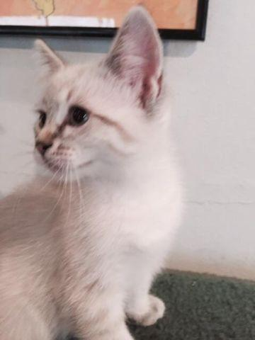 persian cat adoption