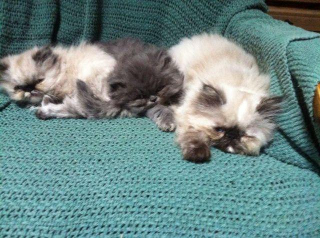 HIMALAYAN TORTIE FEMALES STILL AVAILABLE!