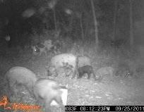 Hog Hunts available in April - $200 (Longview)