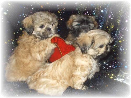 Holdadorable Shih Tzu Puppies 9 Weeks Old For Sale In Springfield