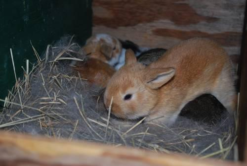 RABBITS: Holland Lop Bunnies
