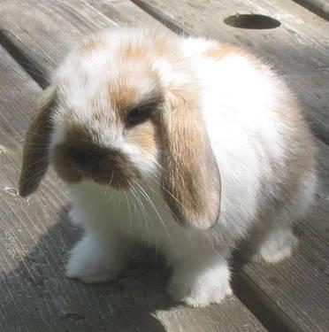 American Fuzzy Lop Rabbits For Sale In Florida Classifieds