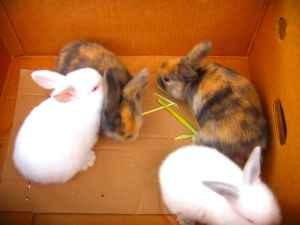 Holland Lop ear dwarf rabbits - $25 (Manchester, Pa.)
