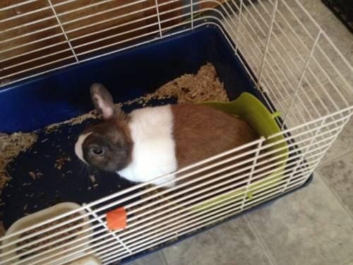 Holland Lop Rabbits/Bunnies for Sale in South
