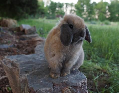 Holland Lop Rabbits for Sale/Adoption in Arkansas -