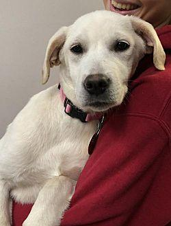 Holly Labrador Retriever Puppy Female