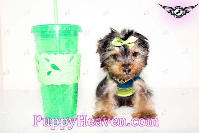 Hollywood Tiny Teacup Yorkie Puppy For Sale By Breeder For Sale In