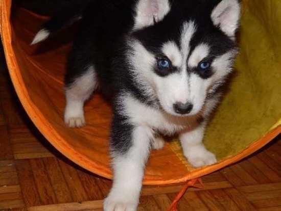 images guides potty train adult husky
