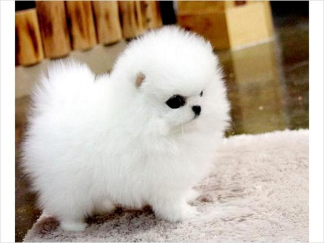 pomeranian rescue in florida home raise lovely male and female pomeranian puppies for 7390