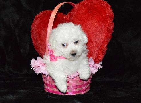 Home Raised Bichon Frise Puppies