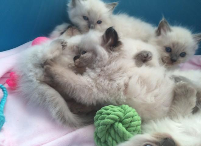 Home Raised Ragdoll Kittens for Sale in Miami, Florida Classified
