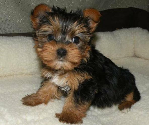 Home Raised Yorkie Puppies For Sale For Rehoming
