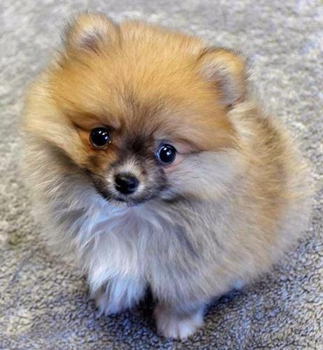 pomeranian breeders in tn home trained pomeranian puppies for sale in chattanooga 9576
