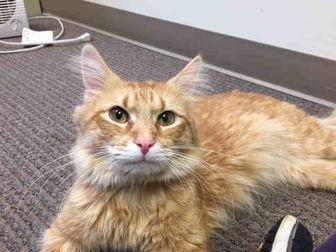 HOMER Domestic Longhair Adult Male