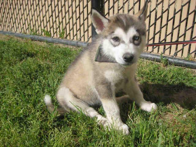 Hondo Siberian Husky Baby Adoption Rescue
