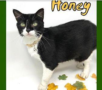 Honey Domestic Shorthair Young Female