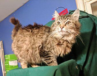 Honey Maine Coon Adult Female