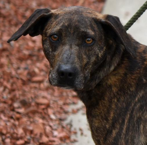 Honey Mountain Cur Adult - Adoption, Rescue