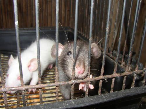 Hooded, Dumbo, Feeder Rats