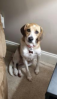 Hoover Beagle Young Male